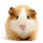 Cute-Guinea-Pig-2048x2048